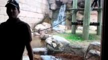 Jealous Alpha Male Monkey tries attacking Man behind window