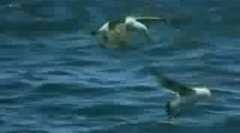 Orca (Killer Whale) attacks and kills Great White Shark